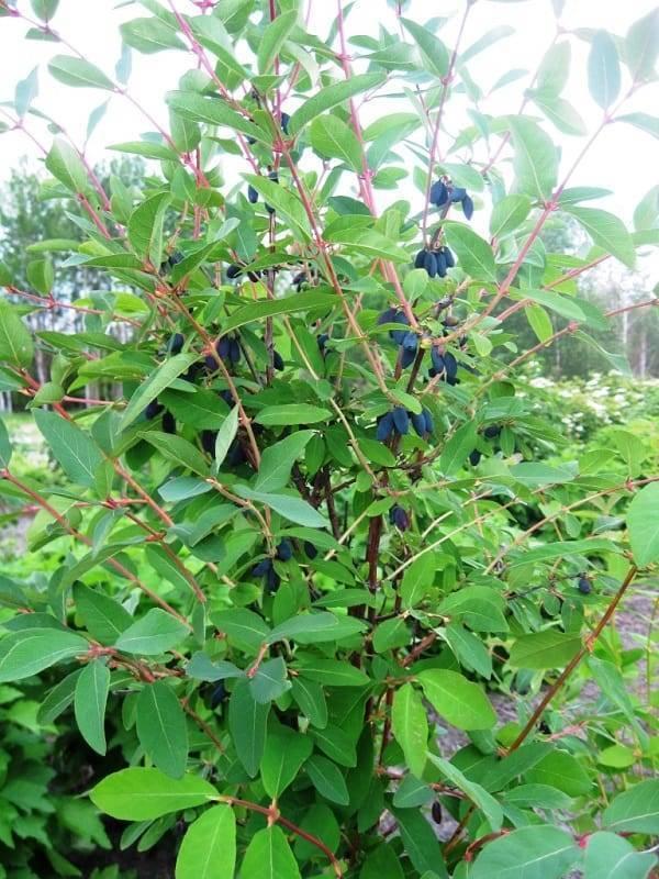 Жимолость: описание и правила выращивания