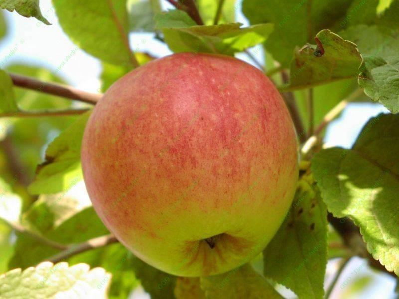 Знаменитый сорт яблони «коричное полосатое»: подробное описание, фото, отзывы садоводов