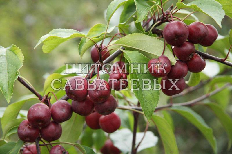 О яблоне юбиляр: описание сорта, характеристики, агротехника, выращивание