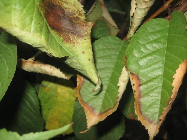 Почему не цветет вишня – 5 возможных причин и советы, что делать