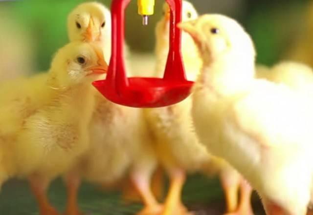 Байтрил: инструкция по применению для цыплят - общая информация - 2020