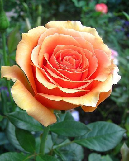 Роза ашрам — рассказываем во всех подробностях
