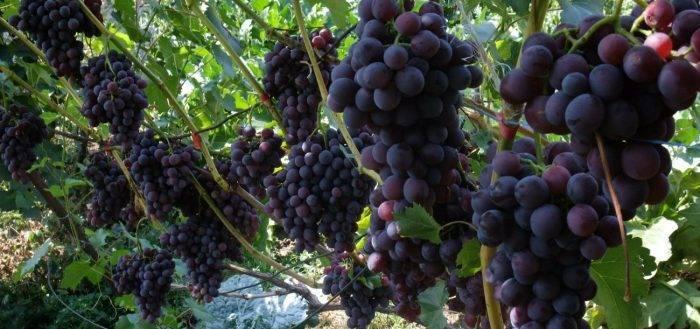 Когда начинает плодоносить виноград после посадки саженцами, как долго растет