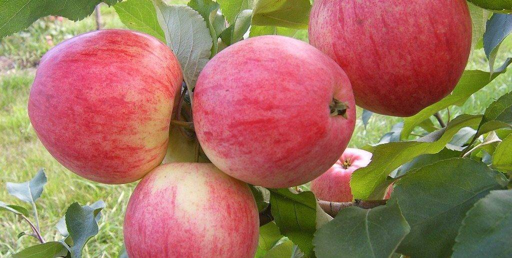 Как подкормить яблоню весной мочевиной: обработка от болезней и вредителей