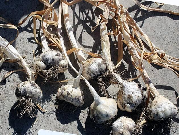 Какие заморозки выдерживают всходы чеснока. чеснок - агротехника, выращивание и уход. для чего надо укрывать грядки