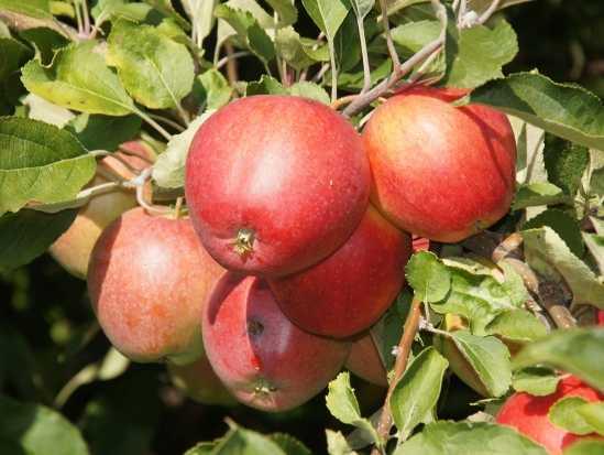 Яблоня пепин шафранный: посадка, описание и сорта