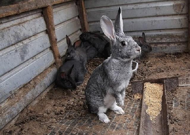 Правельно проростить зерно для корма кроликов