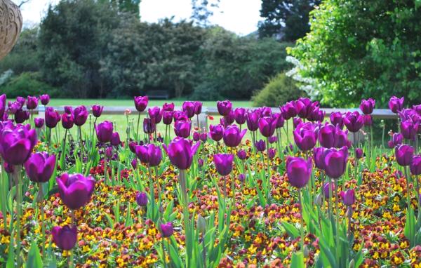 Посадка тюльпанов весной: как и когда именно