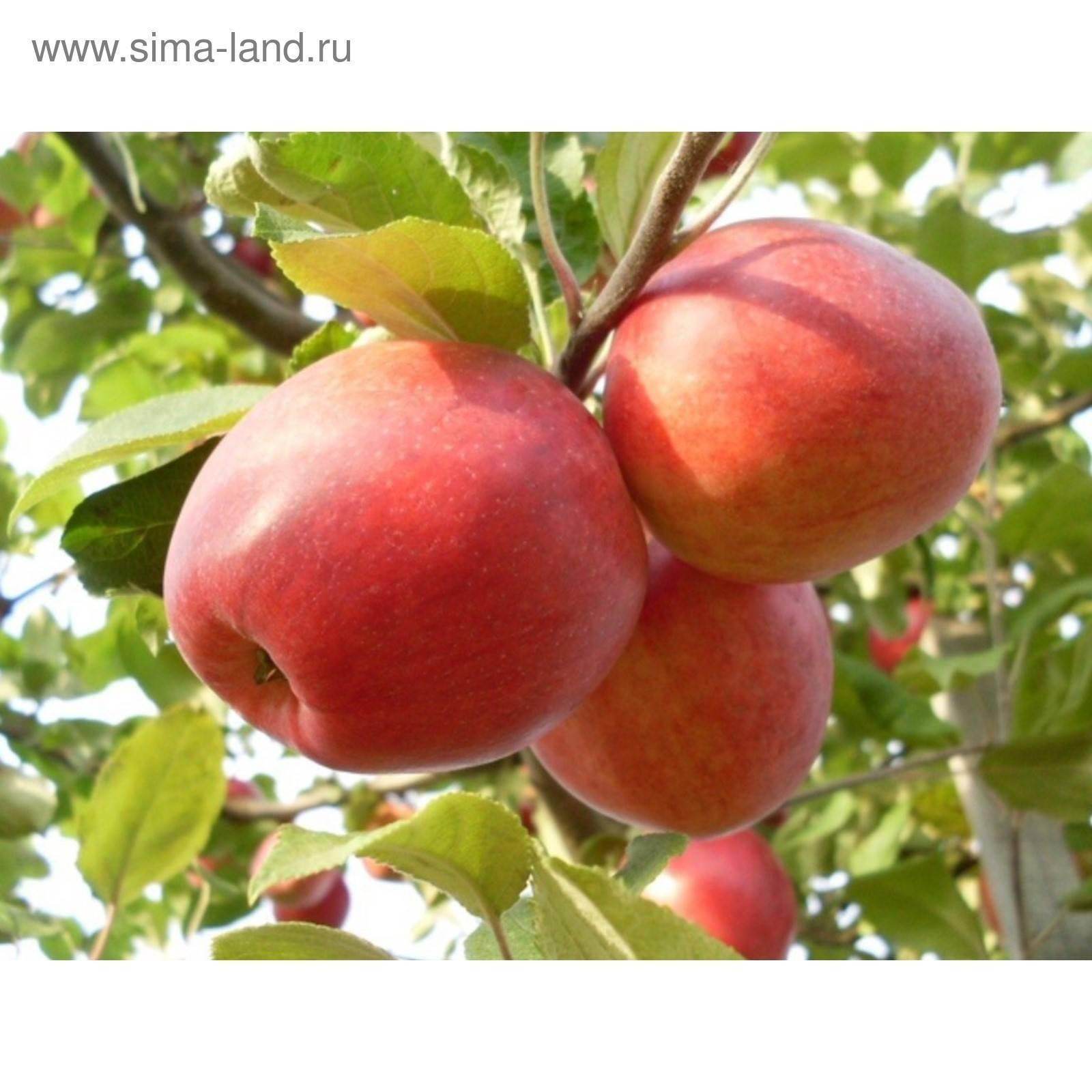 Яблоки пепин шафранный описание фото