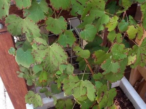 На стеблях винограда появились темные пятна. изучаем болезни винограда и способы борьбы с ними