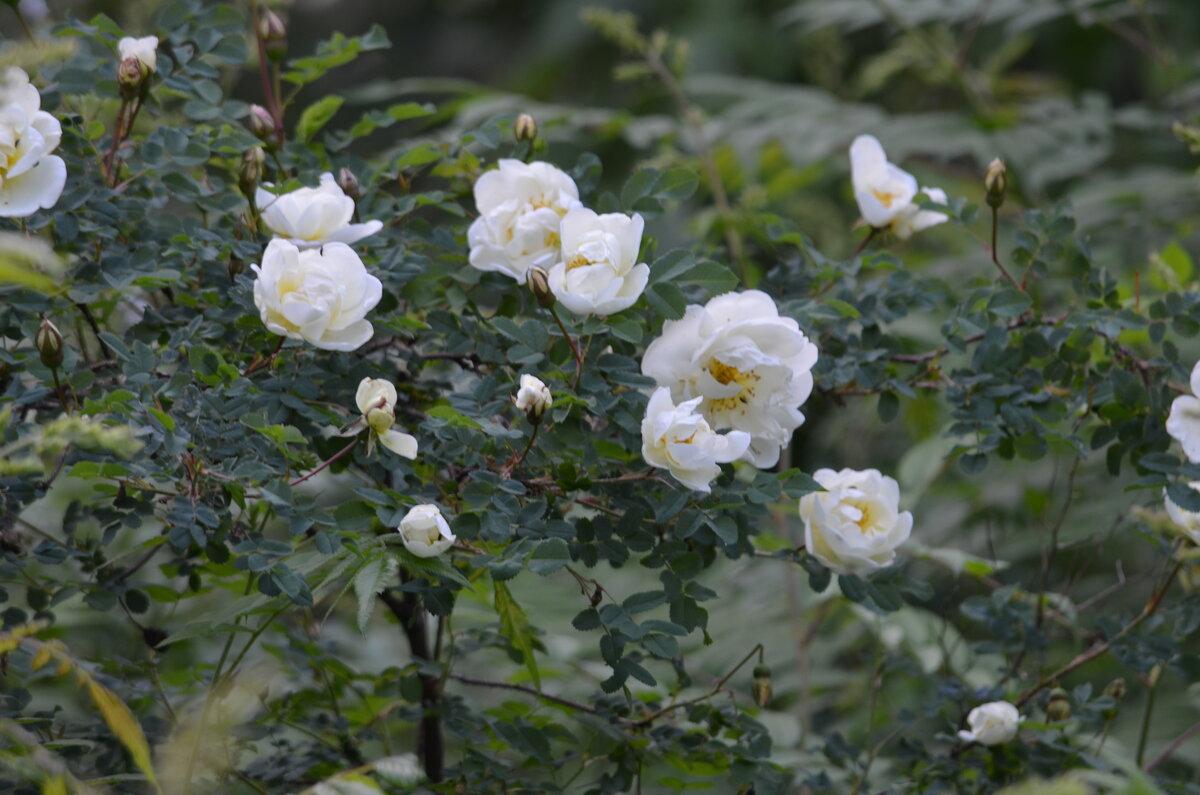 Как правильно обрезать розы после цветения - основные правила и описание технологии с видео