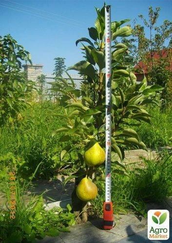 Особенности посадки и ухода за колоновидной грушей сорта декора