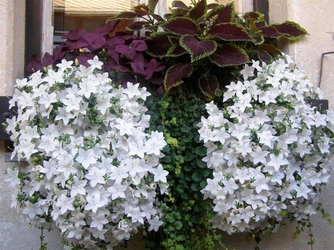 О цветке садовом многолетнем Невеста: как выглядит, почему так называется