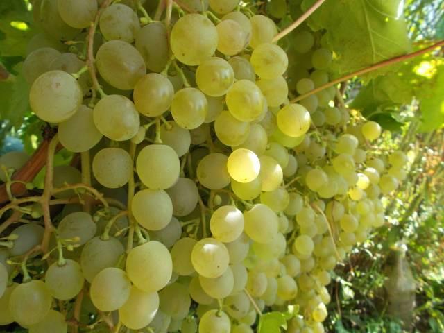 Виноград краса севера: описание сорта и его фото, характеристики и особенности, болезни и вредители