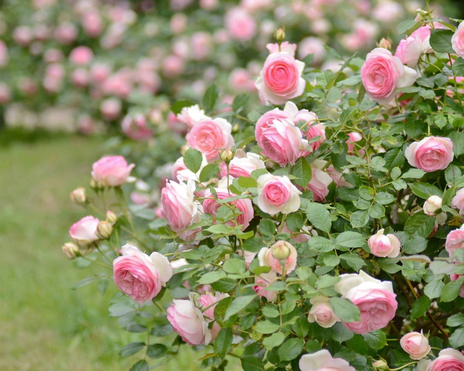 Почему не цветет роза - что делать? основные причины