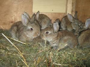 Чем кормить крольчиху после окрола?