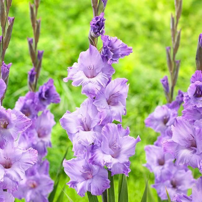 Посадка гладиолусов в открытый грунт весной: правила, подробные рекомендации, советы по уходу