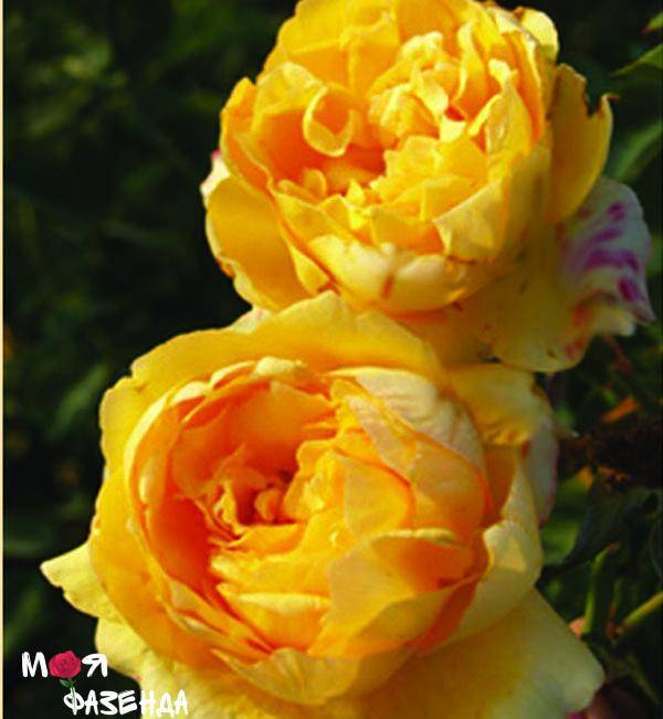 Бенджамин бриттен: роза д. остина, история, описание, выращивание