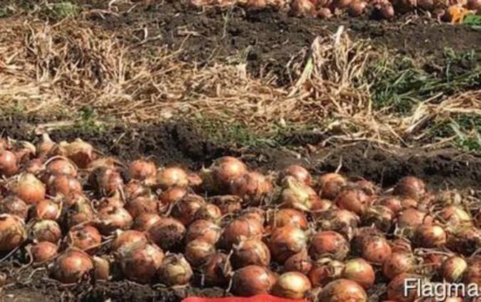 Секрет выращивания лука через рассаду за один год. как получить овощ из семян за сезон?