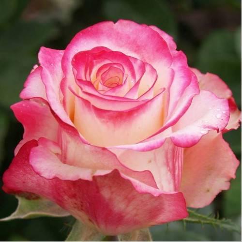Свитнесс роза