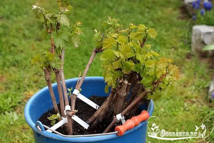 Размножение винограда черенками весной - пошаговая инструкция!