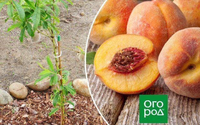 Особенности размножения персика косточкой