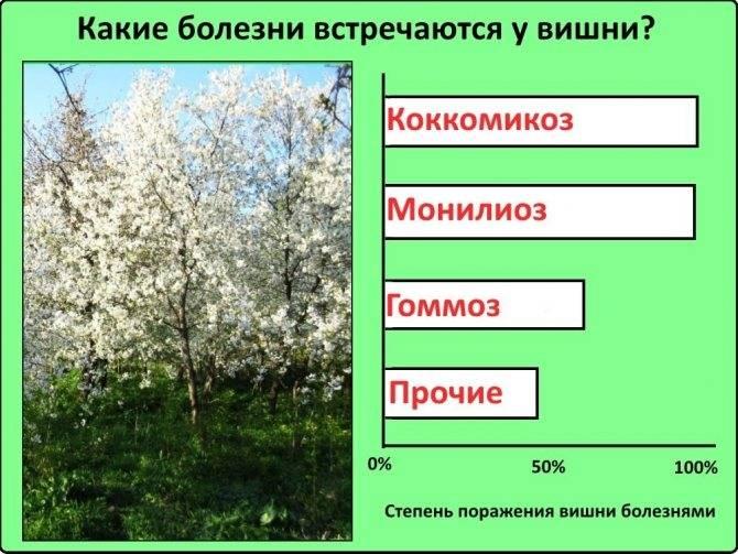 Грибок на вишне: самые распространенные грибковые заболевания
