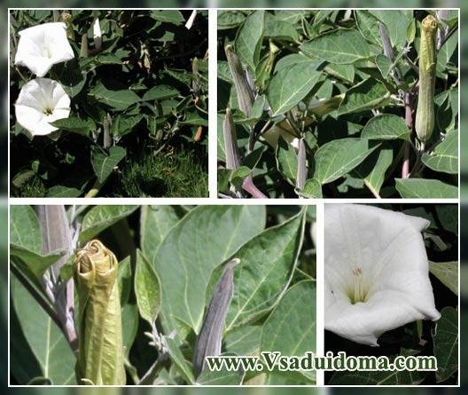 Датура (дурман): выращивание, фото   сажаем сад