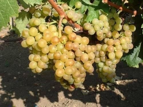 Виноград с прекрасными качествами — «плевен мускатный»