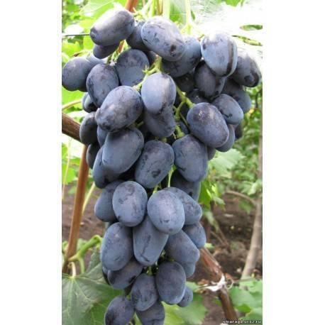 Крупноплодная вишня с превосходным вкусом — сорт черная крупная