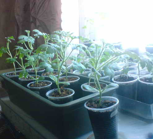 Как вырастить настоящие арбузы в сибири, лучшие для региона сорта