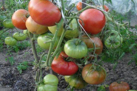 """Томат """"новичок"""": характеристика и описание сорта, выращивание вкусных помидор и фото"""