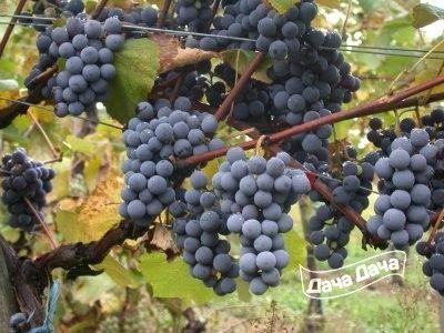 Сорт винограда «ася» — для рынка годится, и похвастать можно