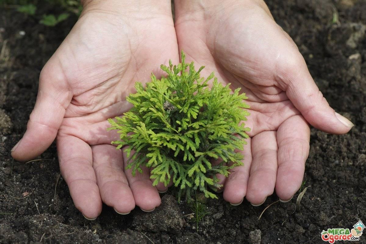 Туя корник: описание, размножение, выращивание