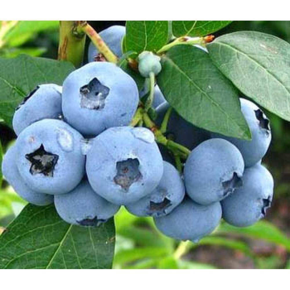 Садовая голубика - какие сорта самые урожайные?