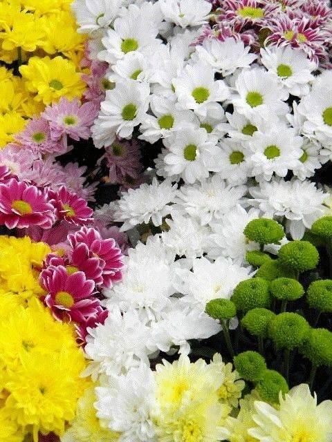 Зеленые хризантемы: сорта, выбор, выращивание