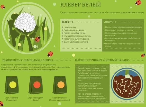 Клевер ползучий (белый) — полезные свойства, описание