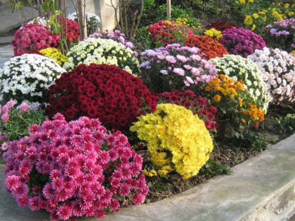 Хризантемы (chrysanthemum). описание, виды и уход за хризантемой