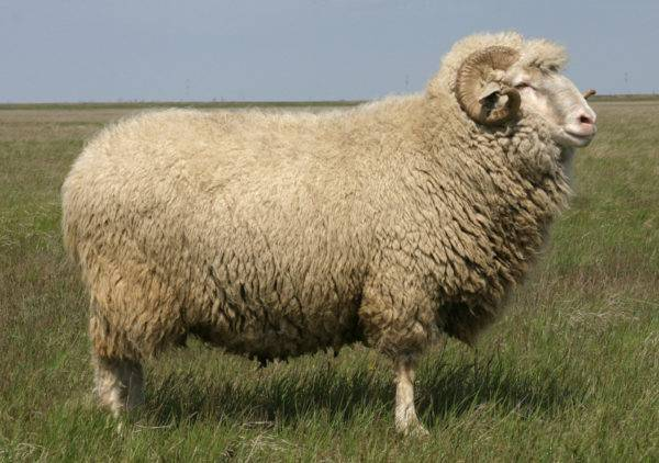 Порода овец меринос (27 фото): описание самой распространенной породы баранов в австралии, содержание австралийских и советских мериносов в россии, тонкости овцеводства