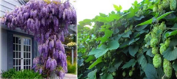 Лианы для дачи: однолетние, многолетние, цветущие, для сибири, особенности ухода
