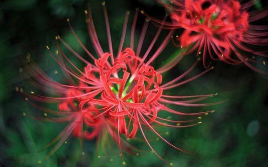 Паучья лилия: тайна цветка, характеристика, фото, правила выращивания