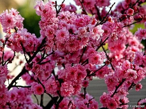 Все про посадку персикового дерева и уход
