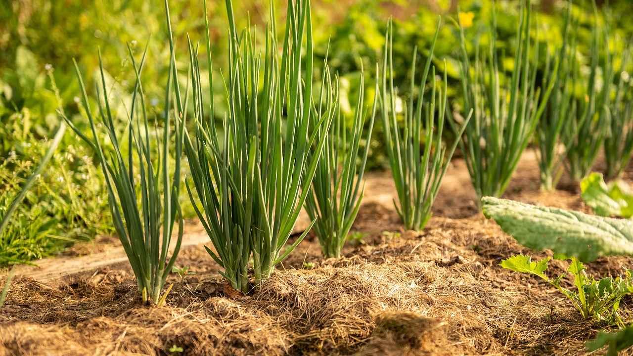 Посадка лука репки весной: правила и советы