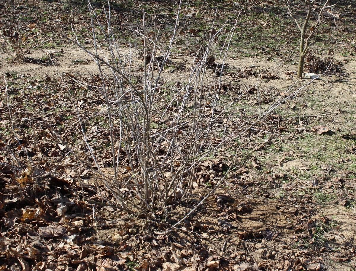 Секреты правильной посадки крыжовника весной