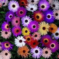 Выращивание газании как многолетник (36 фото): уход за цветком и сохранение, посадка в саду в открытом грунте. как сохранить зимой?