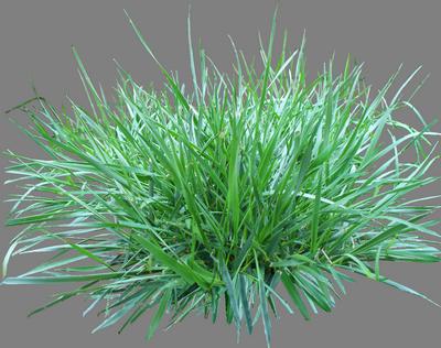Полевица побегоносная как газонная трава, отзывы