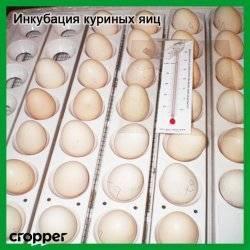 Как развивается зародыш курицы в процессе инкубации каждый день