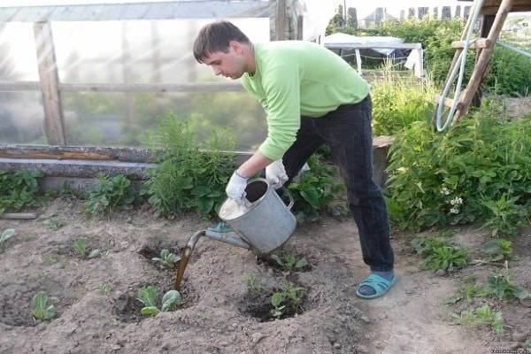 Выращивание цветной капусты с подкормками