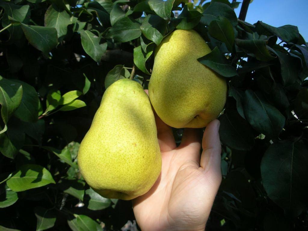 Колоновидная груша — особенности выращивания и ухода