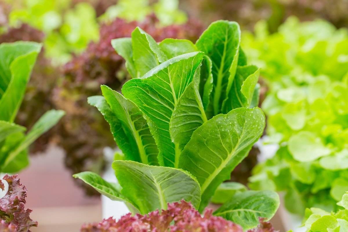 Выращивание салата на подоконнике: особенности процесса